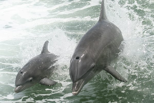 Dolphin Cruises at The Beach Club Resort Gulf Shores Alabama
